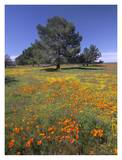 California Poppy and Eriophyllum field, Antelope Valley, California Prints by Tim Fitzharris