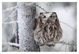 Western Screech Owl perching in a tree with snow on its head, British Columbia, Canada Art by Tim Fitzharris