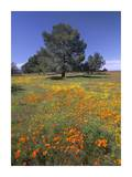California Poppy and Eriophyllum field, Antelope Valley, California Print by Tim Fitzharris