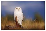 Snowy Owl adult perching on a low stump in a field of green grass, British Columbia, Canada Poster by Tim Fitzharris
