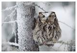 Western Screech Owl perching in a tree with snow on its head, British Columbia, Canada Poster van Tim Fitzharris