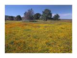California Poppy and Eriophyllum flowers in field, Antelope Valley, California Posters by Tim Fitzharris