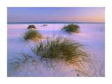 Sea Oats growing on beach, Santa Rosa Island, Gulf Islands National Seashore, Florida Prints by Tim Fitzharris