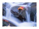 Autumn leaf on boulder, Little River, Great Smoky Mountains National Park, Tennessee Posters by Tim Fitzharris