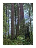 Old growth forest of Coast Redwood stand Del Norte Coast Redwoods State Park, California Print by Tim Fitzharris