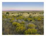 Broomweed growing among prairie grasses, Apishapa State Wildlife Refuge, Colorado Prints by Tim Fitzharris