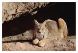 Bobcat adult resting on rock ledge, North America Prints by Tim Fitzharris