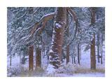 Ponderosa Pine trees after fresh snowfall, Rocky Mountain National Park, Colorado Prints by Tim Fitzharris