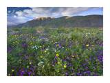 Wildflowers carpeting the ground beneath Coyote Peak, Anza-Borrego Desert, California Print by Tim Fitzharris