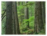 Old growth forest of Western Red Cedar Grove of the Patriarchs, Mt Rainier National Park Prints by Tim Fitzharris