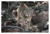Bobcat adult portrait, Montana Prints by Tim Fitzharris