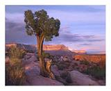 Single-leaf Pinyon Pine at Toroweap Overlook, Grand Canyon National Park, Arizona Print by Tim Fitzharris