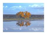 Cottonwood and Cranes, autumn foliage, Bosque del Apache National Wildlife Refuge, New Mexico Prints by Tim Fitzharris