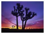 Joshua Trees at sunrise near Quail Springs, Joshua Tree National Park, California Prints by Tim Fitzharris