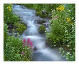 Orange Sneezeweed and Indian Paintbrush beside stream, Yankee Boy Basin, Colorado Prints by Tim Fitzharris