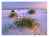 Sea Oats growing on beach, Santa Rosa Island, Gulf Islands National Seashore, Florida Poster by Tim Fitzharris