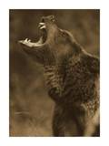Grizzly Bear calling, North America - Sepia Affiches par Tim Fitzharris