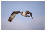 Osprey adult flying, Baja California, Mexico Prints by Tim Fitzharris