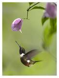 Purple-throated Woodstar hummingbird hovering near Bougainveillea flower, Ecuador Posters by Tim Fitzharris
