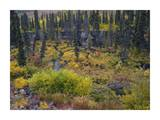 Beaver pond amid boreal forest, Tombstone Territorial Park, Yukon Territory, Canada Prints by Tim Fitzharris