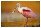 Roseate Spoonbill adult in breeding plumage standing in golden-colored water, North America Posters by Tim Fitzharris