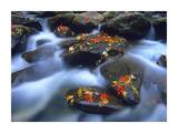 Autumn leaves on wet boulders in stream, Great Smoky Mountains National Park, North Carolina Prints by Tim Fitzharris