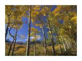 Aspen in fall colors and Maroon Bells, Elk Mountains, Snowmass Wilderness, Colorado Posters by Tim Fitzharris