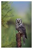 Northern Hawk Owl perching in a tree, circumpolar species, British Columbia, Canada Posters by Tim Fitzharris