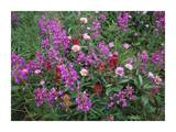 Fireweed Asters and Paintbrush , North America Prints by Tim Fitzharris