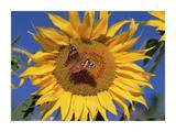 Painted Lady butterfly on sunflower, New Mexico Arte di Tim Fitzharris