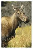 Moose female, North America Art by Tim Fitzharris