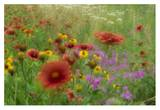 Gaillardia, coreopsis and pointed phlox, blowing in the wind, Texas Art by Tim Fitzharris