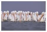 American White Pelican group, North America Posters par Tim Fitzharris