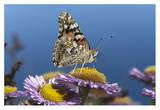 Painted Lady butterfly feeding on Purple Aster , California Poster by Tim Fitzharris