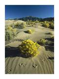 Coyote tracks and flowering shrubs, Great Sand Dunes, Colorado Prints by Tim Fitzharris