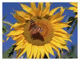 Painted Lady butterfly on sunflower, New Mexico Posters by Tim Fitzharris