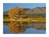 Cottonwood fall foliage with Magdalena Mountains, New Mexico Print by Tim Fitzharris