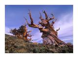 Foxtail Pine ancient trees at Schulman Grove, White Mountains, Inyo National Forest, California Print by Tim Fitzharris