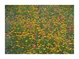 Paintbrush and coreopsis meadow, Hill Country, Texas Posters by Tim Fitzharris