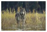 Timber Wolf pauses while walking through lake, Montana Prints by Tim Fitzharris