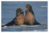Northern Elephant Seal males fighting, California Posters by Tim Fitzharris