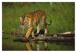 Siberian Tiger walking along waters edge Reprodukcje autor Tim Fitzharris