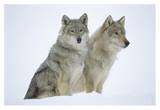 Timber Wolf portrait of pair sitting in snow, North America Prints by Tim Fitzharris