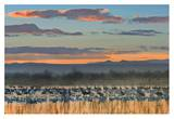 Snow Geese and Sandhill Cranes, Bosque del Apache National Wildlife Refuge, New Mexico Posters by Tim Fitzharris