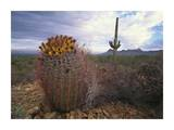 Saguaro and Giant Barrel Cactus with Panther and Safford Peaks, Arizona Art by Tim Fitzharris