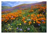 California Poppy and other wildflowers growing on hillside, spring, Antelope Valley, California Posters by Tim Fitzharris