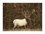 Elk or Wapiti male portrait, North America - Sepia Poster by Tim Fitzharris