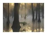 Bald Cypress grove in freshwater swamp at dawn, Lake Fausse Pointe, Louisiana Posters by Tim Fitzharris