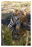 Siberian Tiger resting along water's edge Posters by Tim Fitzharris