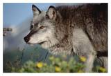Timber Wolf adult portrait, North America Posters by Tim Fitzharris